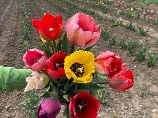 Die Tulpen blühen!